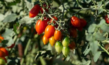 9 μυστικά για να καλλιεργήσουμε νόστιμα ντοματίνια