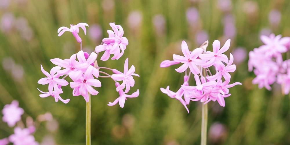 Τουλμπάγχια, ένα λουλούδια με άρωμα σκόρδου