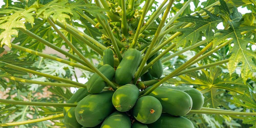 Παπάγια, εξωτικό και νόστιμο φρούτο