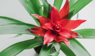 Γκουσμάνια, ένα τροπικό φυτό εσωτερικού χώρου