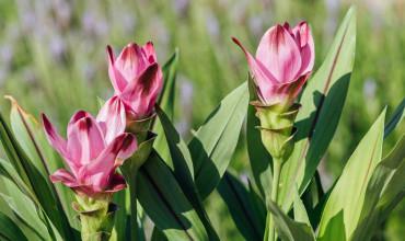 Κουρκουμάς, το εντυπωσιακό φυτό που μας δίνει ένα υπέροχο μπαχαρικό