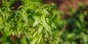 Λουίζα, βότανο με γεύση λεμόνι