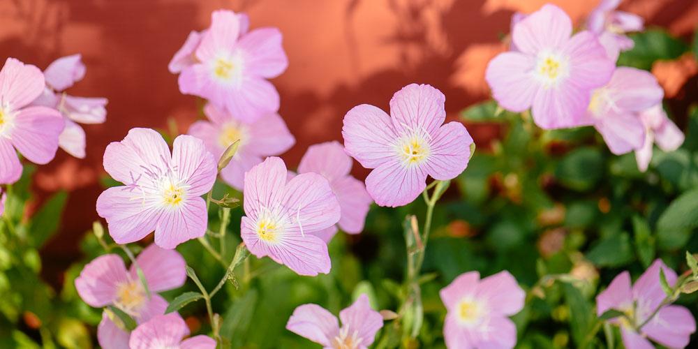 Οινoθήρα, ένα επεκτατικό φυτό εδαφοκάλυψης με πανέμορφα λουλούδια