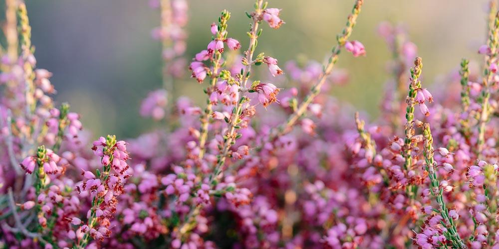 Ρείκι, ένα καλλωπιστικό και μελισσοκομικό φυτό