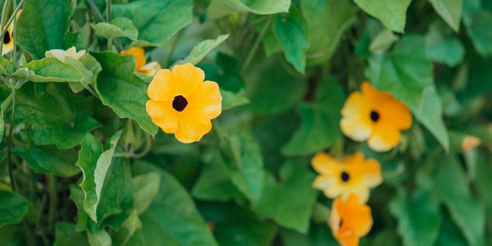 Θουνμπέργκια, ένα τροπικό φυτό για εδαφοκάλυψη