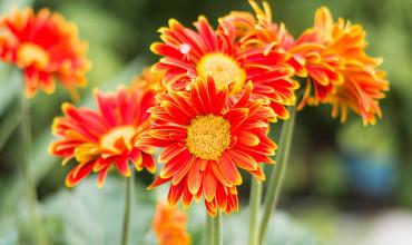 Ζέρμπερα, ένα εντυπωσιακό φυτό με υπέροχα λουλούδια