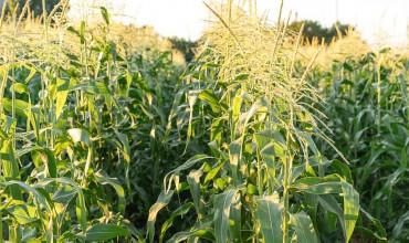 8 μυστικά για φύτευση και καλλιέργεια καλαμποκιού