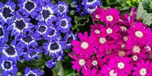 Τζενεράλι, ένα εντυπωσιακό φυτό με πολύχρωμα λουλούδια