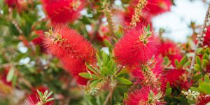Καλλιστήμονας, ένα φυτό με κόκκινες βούρτσες