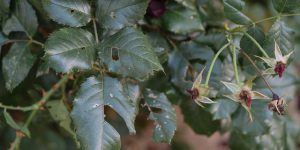 Πώς αντιμετωπίζουμε τις κάμπιες στις τριανταφυλλιές