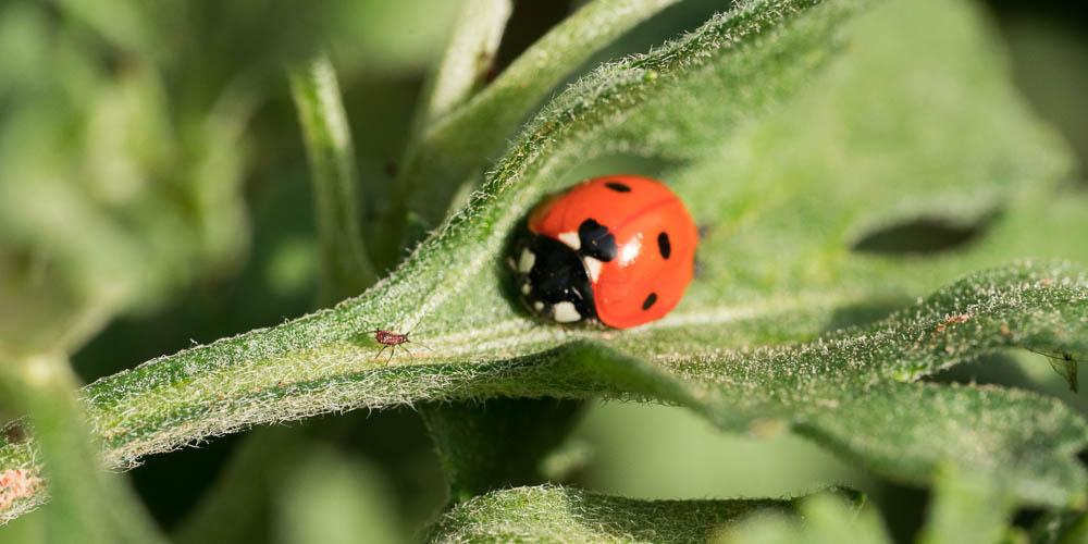 Πασχαλίτσα, ένα ωφέλιμο έντομο στον κήπο μας