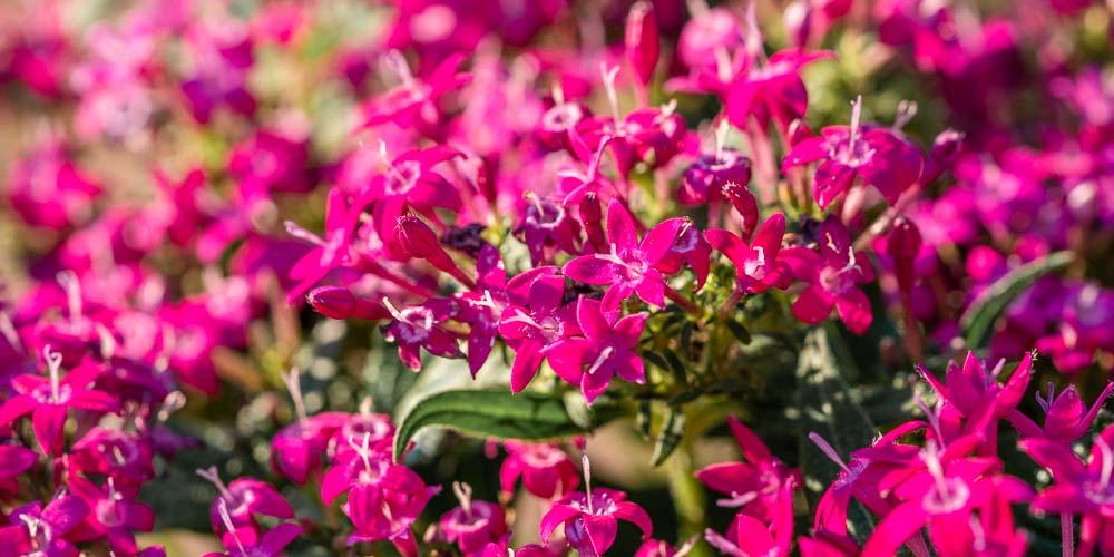 Πέντας, ένα φυτό με λουλούδια αστεράκια