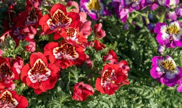 Σχίζανθος, το λουλούδι πεταλούδα