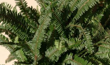 Φτέρη, ένα διαχρονικό φυτό με υπέροχα φύλλα