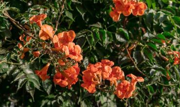 Μπιγκόνια μεγανθής, ένα εντυπωσιακό αναρριχώμενο φυτό