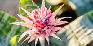 Αιχμέα, ένα εξωτικό φυτό εσωτερικού χώρου