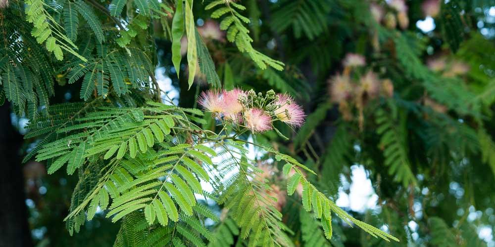 Ακακία Κωνσταντινουπόλεως, ένα καλλωπιστικό δέντρο με ρόδινα άνθη