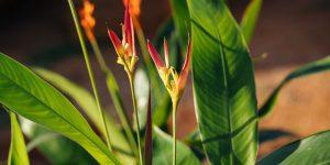 Ελικόνια, ένα τροπικό φυτό με εντυπωσιακά λουλούδια