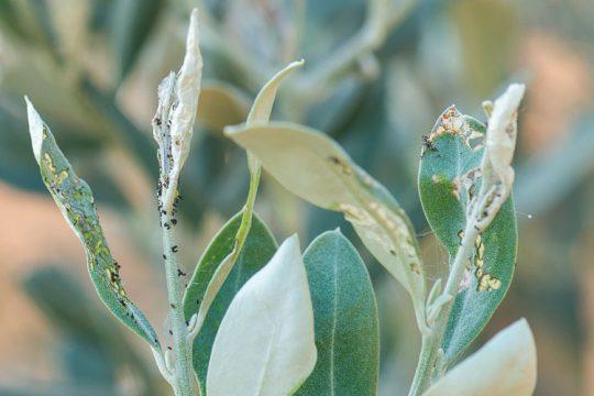 Καταπολέμηση της μαργαρόνιας της ελιάς