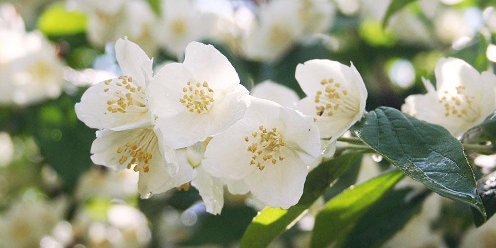 Φιλάδελφος, καλλωπιστικός θάμνος με λευκά αρωματικά λουλούδια
