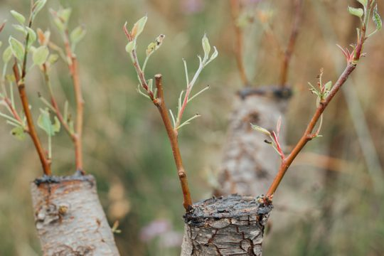 5 τρόποι εμβολιασμού για το μπόλιασμα δέντρων