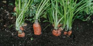 Όταν η διάμετρος του καρότου ξεπεράσει τα 3 εκατοστά είναι έτοιμο για συγκομιδή