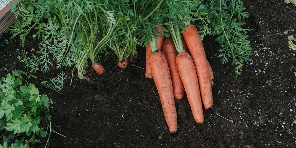 10 μυστικά για φύτευση και καλλιέργεια καρότου