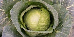 10 μυστικά για φύτευση και καλλιέργεια λάχανου