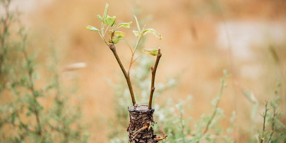 Ποια εποχή και πώς μπολιάζουμε κάθε καρποφόρο δέντρο