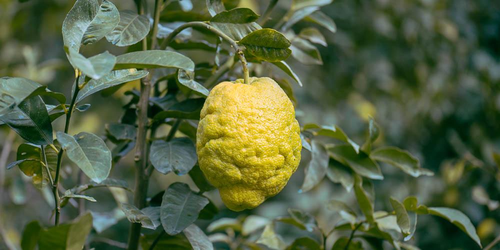5 μυστικά για την καλλιέργεια του περγαμόντο