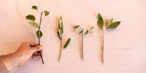 Πώς επιλέγουμε εμβόλια για το μπόλιασμα των καρποφόρων δέντρων