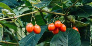 Ταμαρίλο, το εξωτικό ντοματόδενδρο