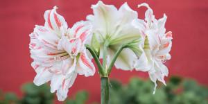 Αμαρυλλίδα, το μεγαλοπρεπές λουλούδι