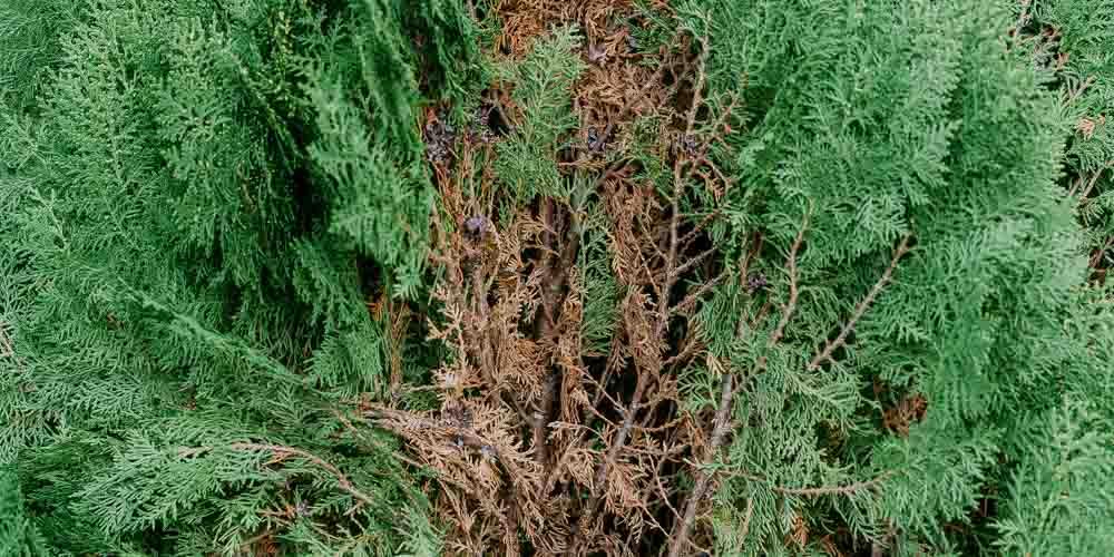 Γιατί ξεραίνονται τα κωνοφόρα δέντρα; (κυπαρίσσι, τούγια, λέιλαντ, γκολντ κρεστ, πεύκο, έλατο)