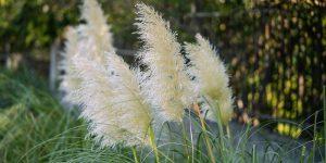 Γυνέριο, ένα εντυπωσιακό λουλούδι με πουπουλένια φτερά