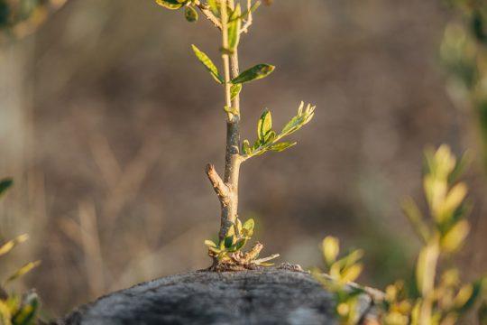 Υποκείμενα καρποφόρων δέντρων