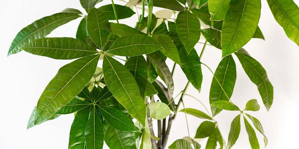 Παχίρα, ένα ανθεκτικό φυτό εσωτερικού χώρου που φέρνει τύχη