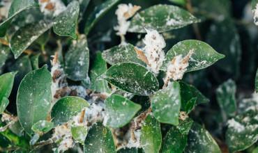 Πώς γίνεται η αντιμετώπιση της βαμβακάδας στα φυτά