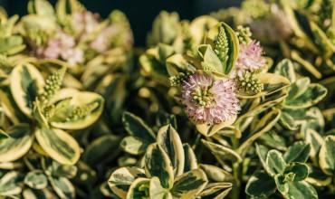 Βερονίκη, ένας καλλωπιστικός θάμνος με μωβ λουλούδια