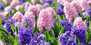 Υάκινθος (ζουμπούλι), φύτευση σε κήπο και σε γλάστρα