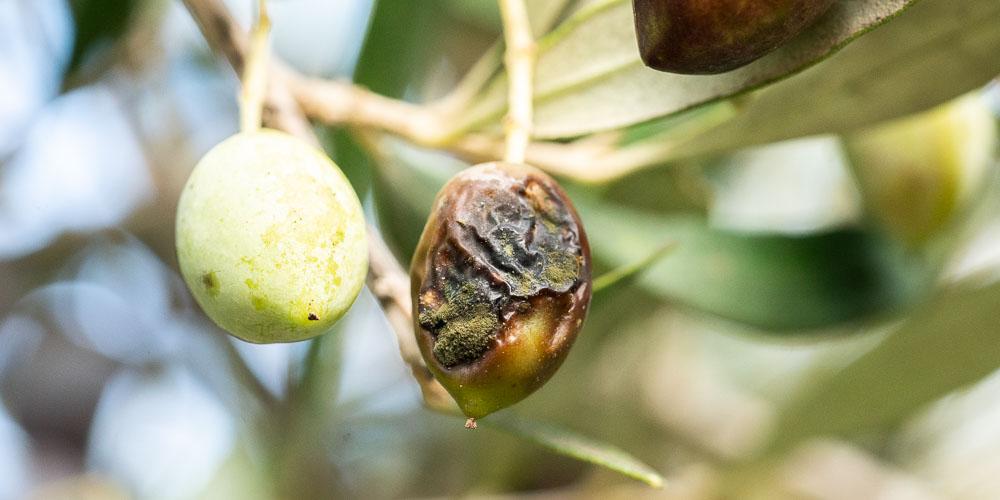 Πώς γίνεται η αντιμετώπιση του γλοιοσπόριου της ελιάς