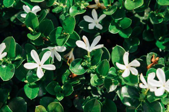 Καρίσα, ένας ανθεκτικός θάμνος με λευκά αρωματικά άνθη