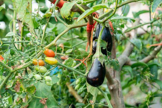 Σολανόδεντρο, ένα δέντρο που μεγαλώνουν ντομάτες, πιπεριές και μελιτζάνες