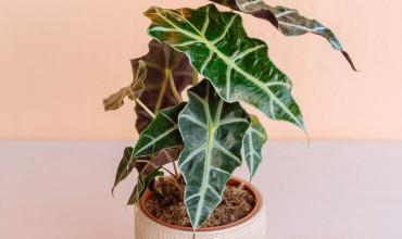 Αλοκάσια, ένα εξωτικό φυτό που μοιάζει με αυτί ελέφαντα