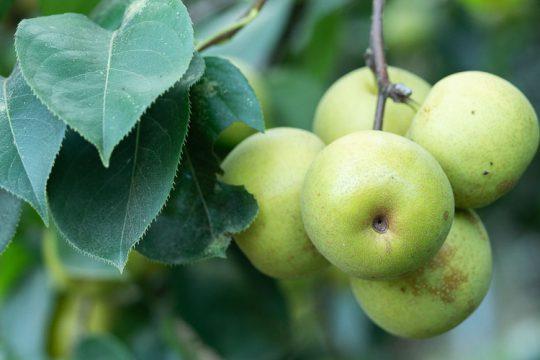 Αχλαδόμηλο, ένα αχλάδι σε σχήμα μήλου