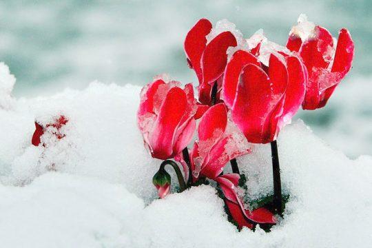 Κυκλάμινο στο χιόνι