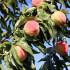 7 μυστικά για την καλλιέργεια της ροδακινιάς
