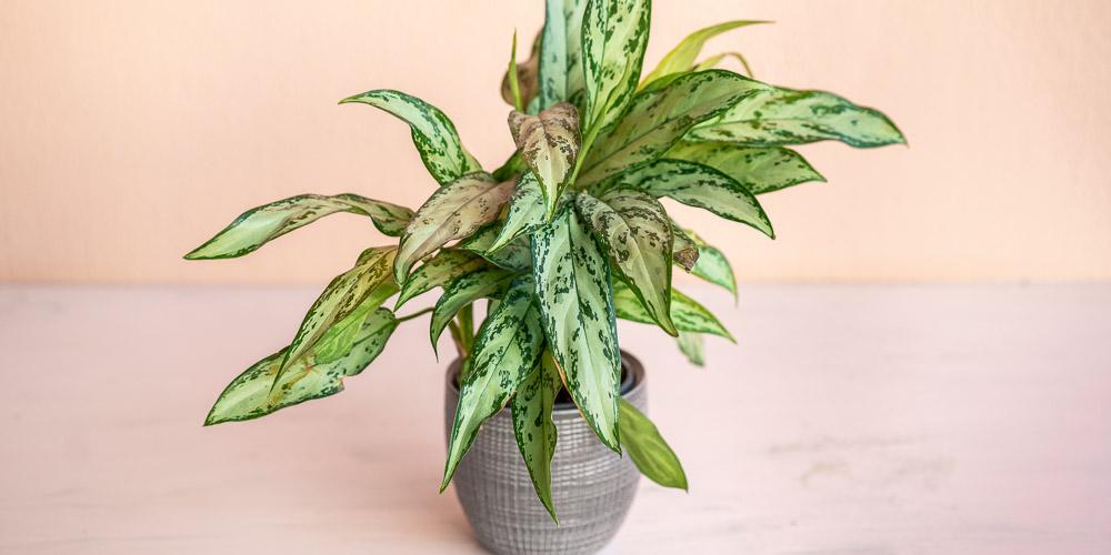 Αγλαόνημα, ένα ανθεκτικό φυτό εσωτερικού χώρου