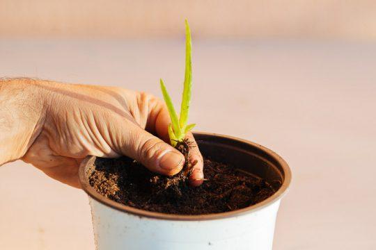 Πώς δημιουργούμε καινούρια φυτά αλόης