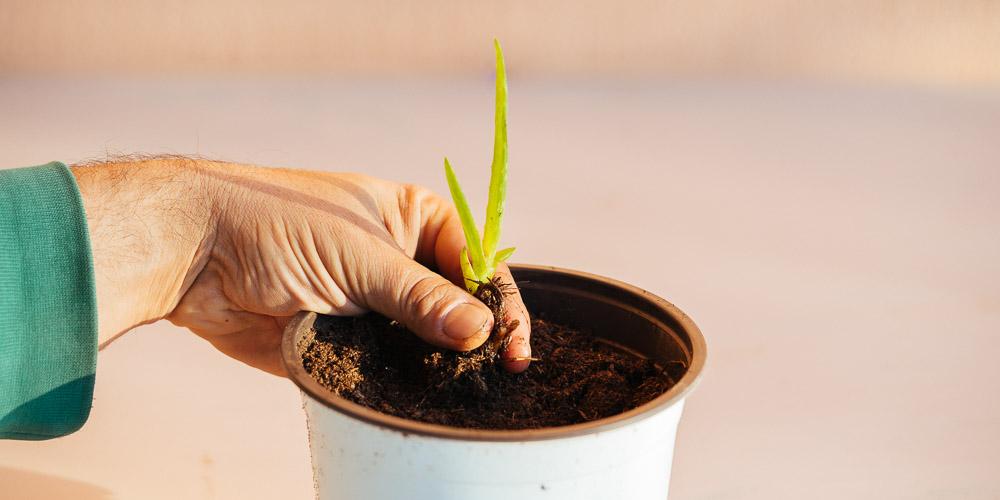 Πως δημιουργούμε καινούρια φυτά αλόης